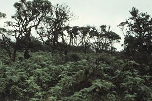 scalesia